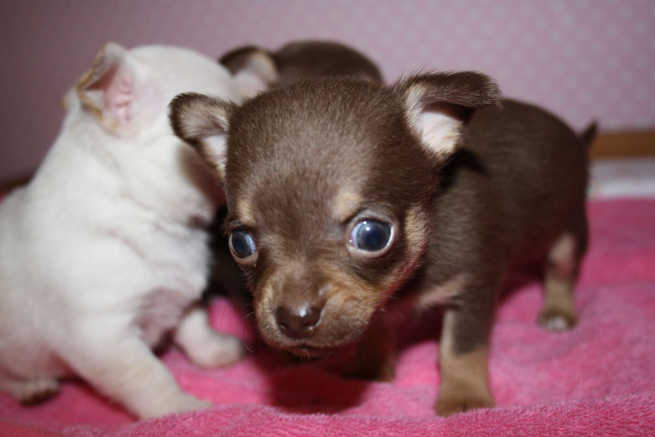 Found On Bing From Pets4homes Co Uk Teacup Chihuahua Puppies