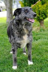 Adopt Eve On Shepherd Mix Dog Animals Australian Shepherd