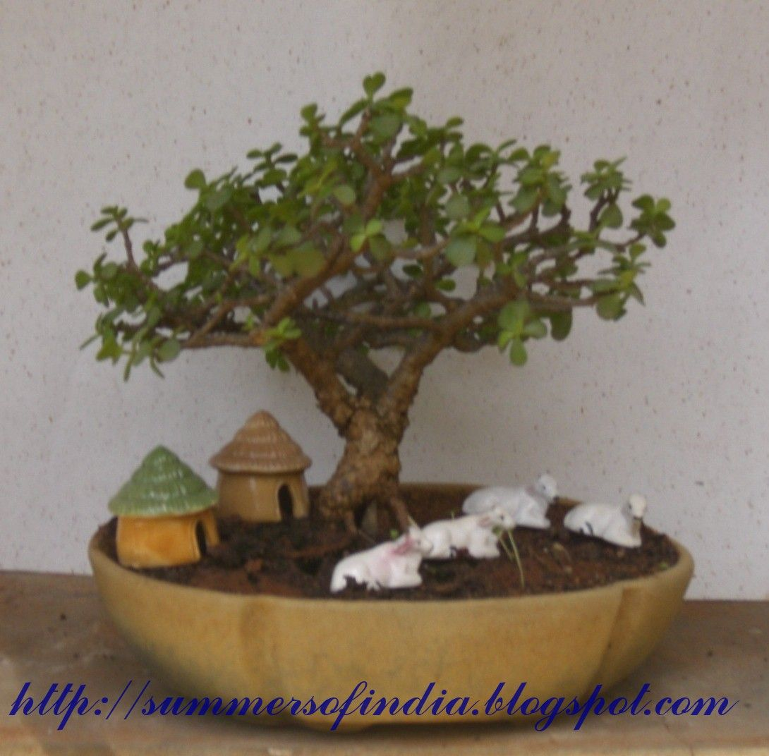 1000 Images About Jade Bonsai On Pinterest Trees Bonsai Trees
