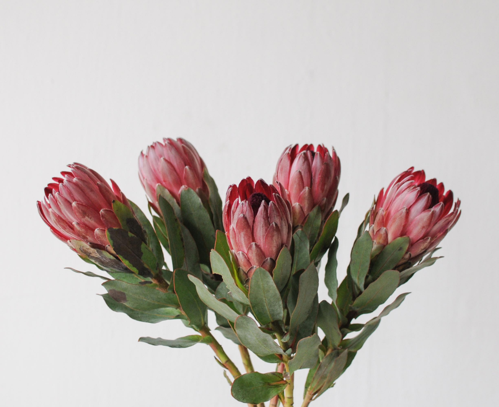 Pink Ice Protea Wonderland Botanicals In 2020 Protea Plant Botanical Protea