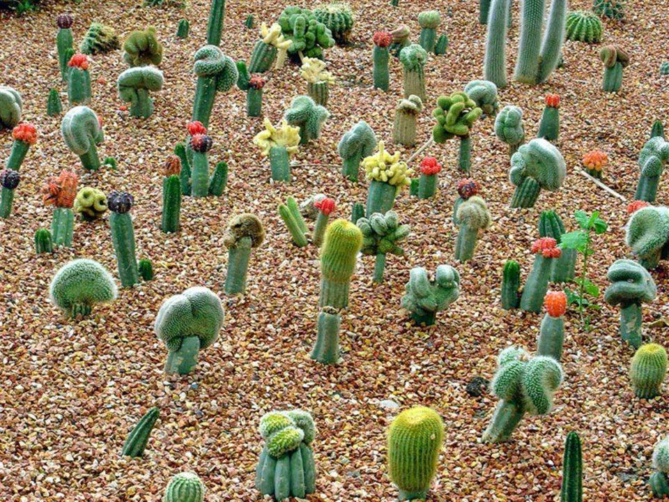 Jardines & Patios de cactus    Injertados
