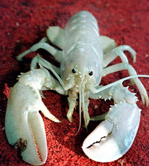 """Only about one in 100 million lobsters are albino - lacking in colored pigments. These are also referred to as """"white"""" or """"crystal"""" lobsters due to their metallic appearance."""