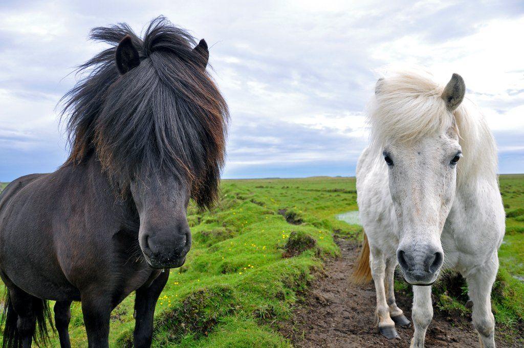 Ride Icelandic Horses in Reykjavic | Horses, Icelandic ... |Icelandic Horse Tours
