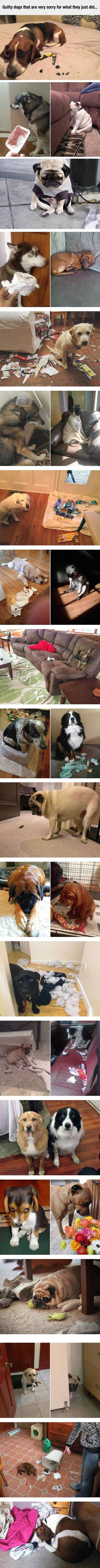 Guilty Dogs Who Are Sorry For What They Did cute animals dogs adorable dog puppy animal pets lol humor funny pictures funny animals funny pets funny dogs