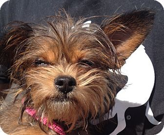 Fountain Valley, CA Yorkie, Yorkshire Terrier/Chihuahua