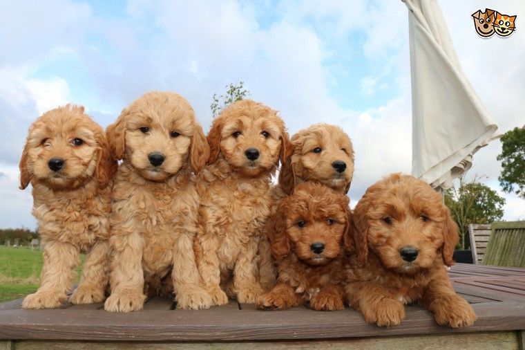 Red F1 Goldendoodle Puppies Ready Now Red Goldendoodle