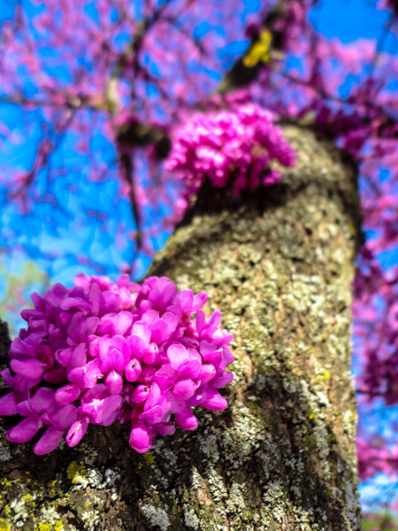We have a tree here in Michigan that grows flowers on the main limbs, not just on the edge branches. It is called the Judas tree and some flower this