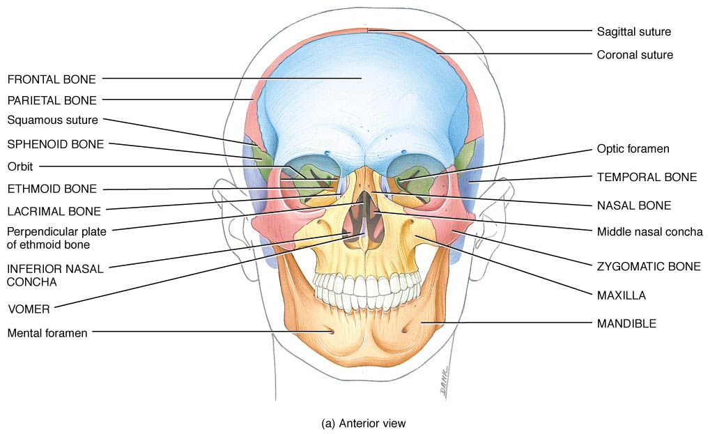 perpendicular plate of ethmoid - Google Search | anatomy | Pinterest