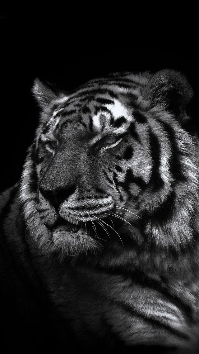 Iphone 5 Wallpaper Tiger