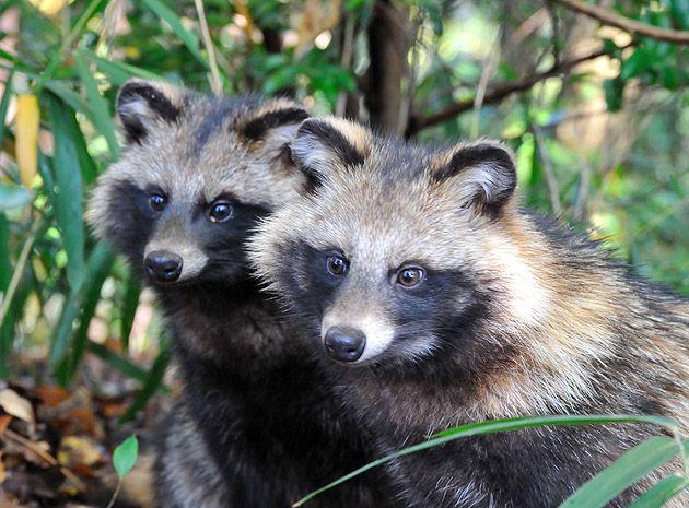 たぬきブラザーズ Raccoondog Brothrers 動物 可愛すぎる動物 スピリットアニマル