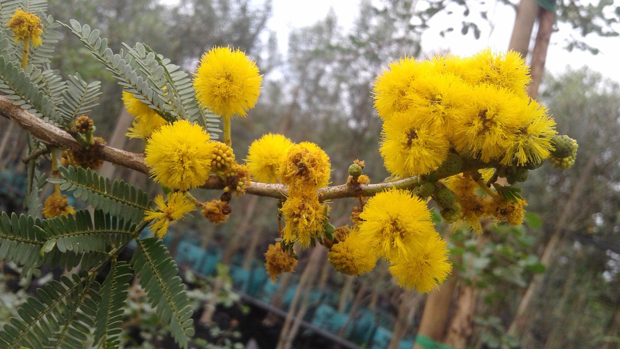 Acacia Karroo Presently Known As Vachellia Karroo Sweet Thorn Cape Karoo Mimosa Flowers Photography Trees To Plant Yellow Flowers