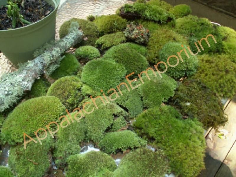 Premium Super Mix Live Fresh Moss For Terrariums Vivariums Bath