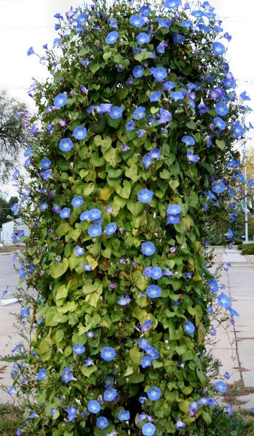 Morning Glories How To Plant And Grow Morning Glory Flowers Morning Glory Flowers Morning Glory Morning Glory Vine