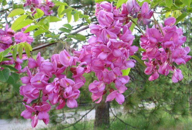 Purple robe locust tree flowers leaves trees pinterest robe purple robe locust tree flowers mightylinksfo