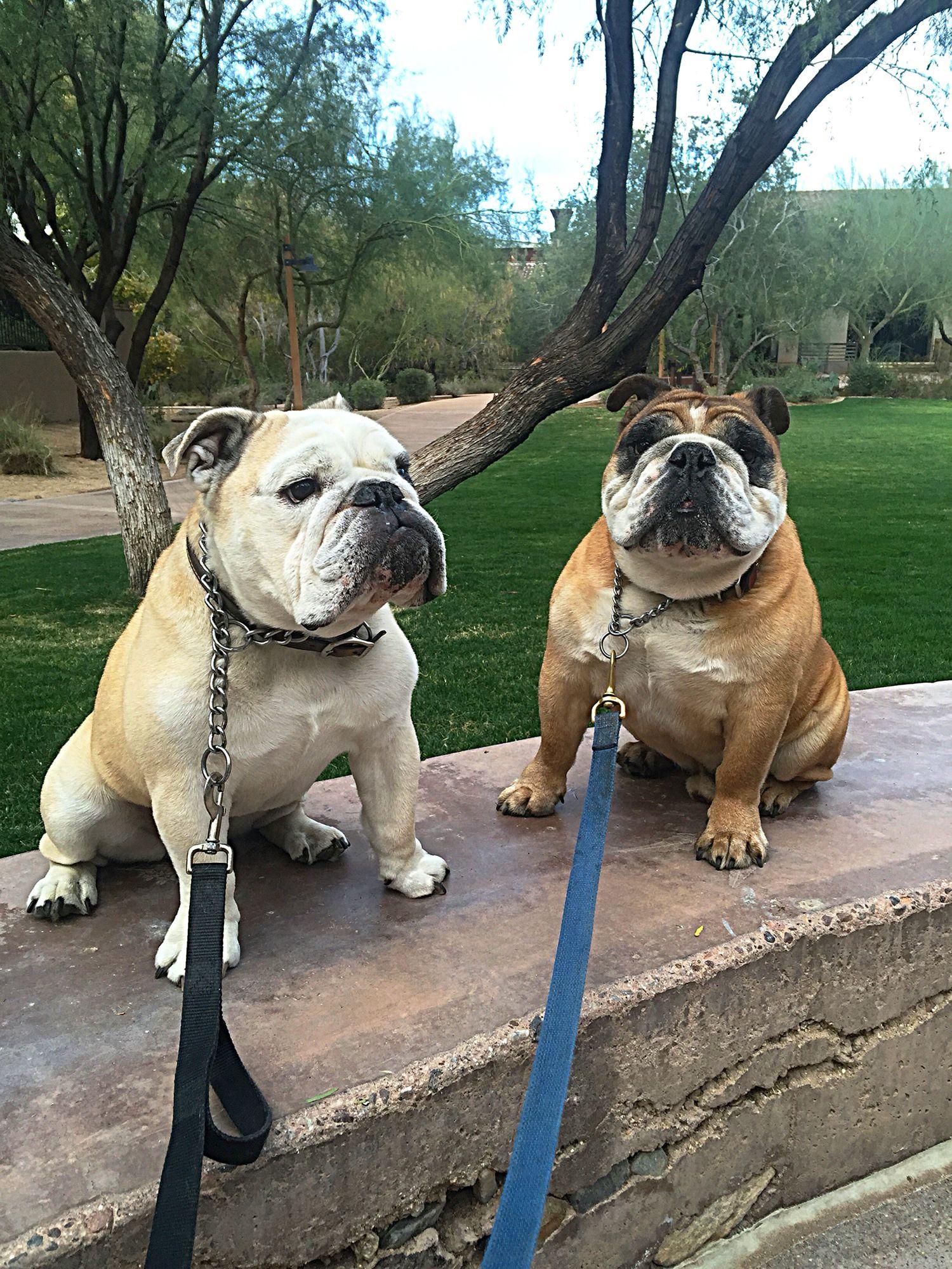 English bulldogs Bulldog & Frenchie Lovin Pinterest