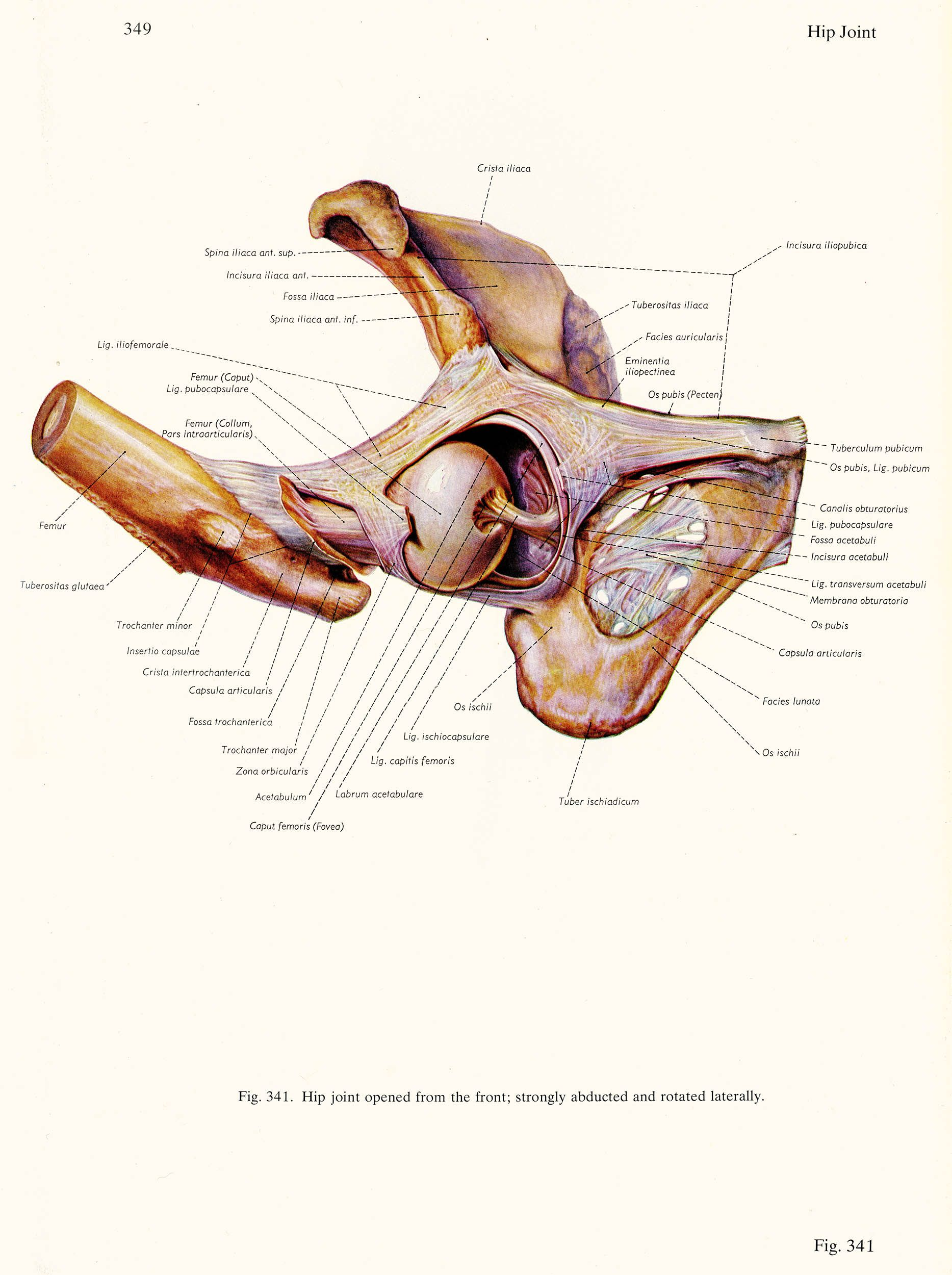 Hip joint opened from the front, click for larger image | Anatomie ...