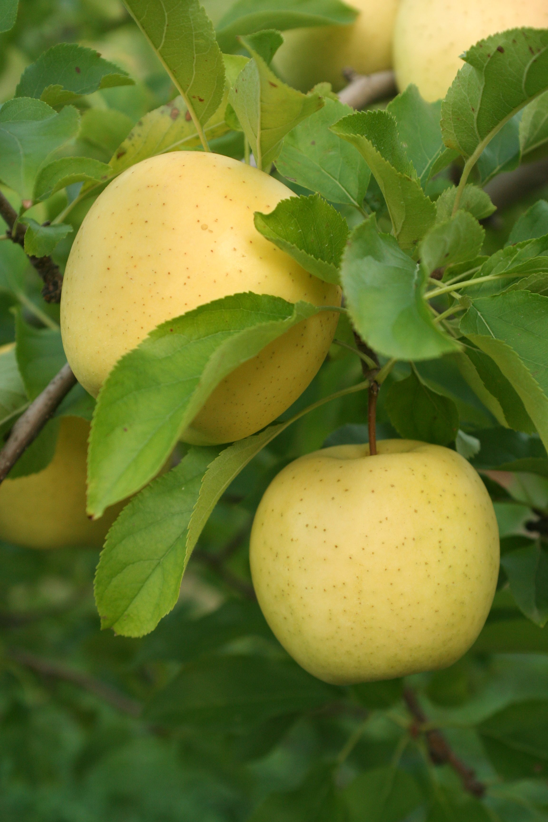 Yellow Delicious Apples Buy Stark Bros Starkspur Golden Delicious The Spurs Allow Fruit To Form On Each Limb Unlike Other Golden Delicious Trees That