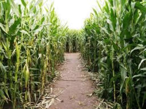 Corn Maze And Hayride For Two At Cold Mountain Corn Maize On Foffer Corn Maze Pumpkin Patch Corn Maze Corn Maize