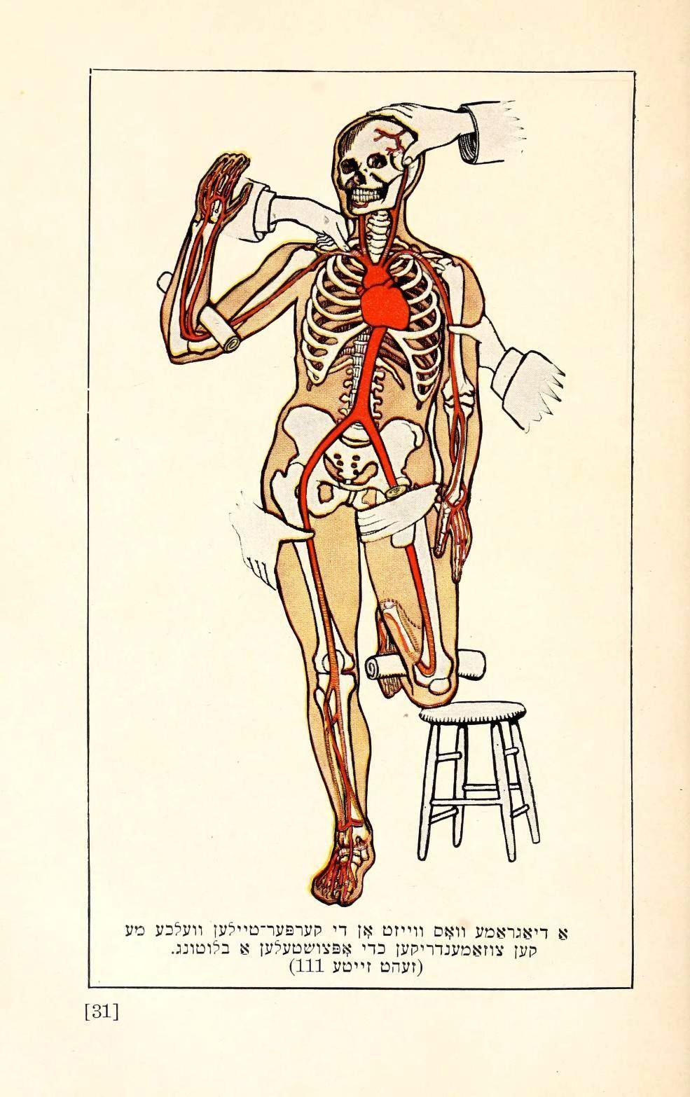 Circulatory System Pressure Points From Der Familyen Door 1926