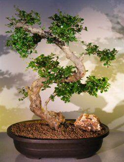 Indoor Bonsai Tree for Sale   Ficus Bonsai & Bonsai How To   Zen ...
