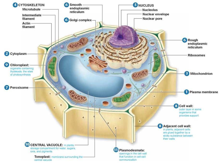 plant cell diagram dna residential electrical symbols u2022 rh wiringdiagramnow today plant cell diagram assignment plant cell diagram answers
