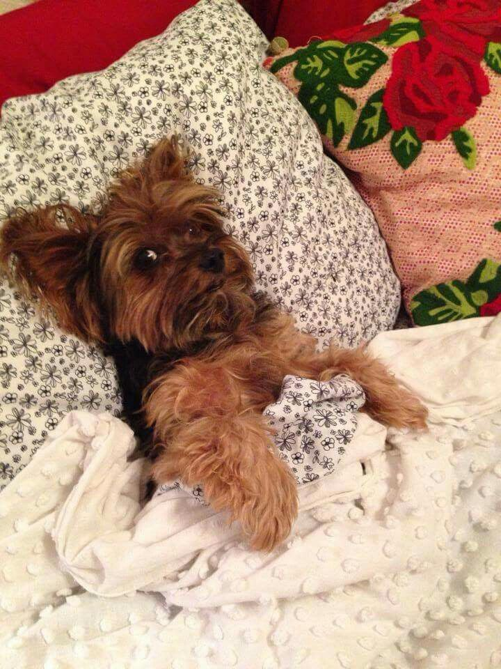 Image result for yorkie pinterest bed