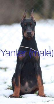 Doberman Pinscher Puppy For Sale In Murrieta Ca Adn 55021 On