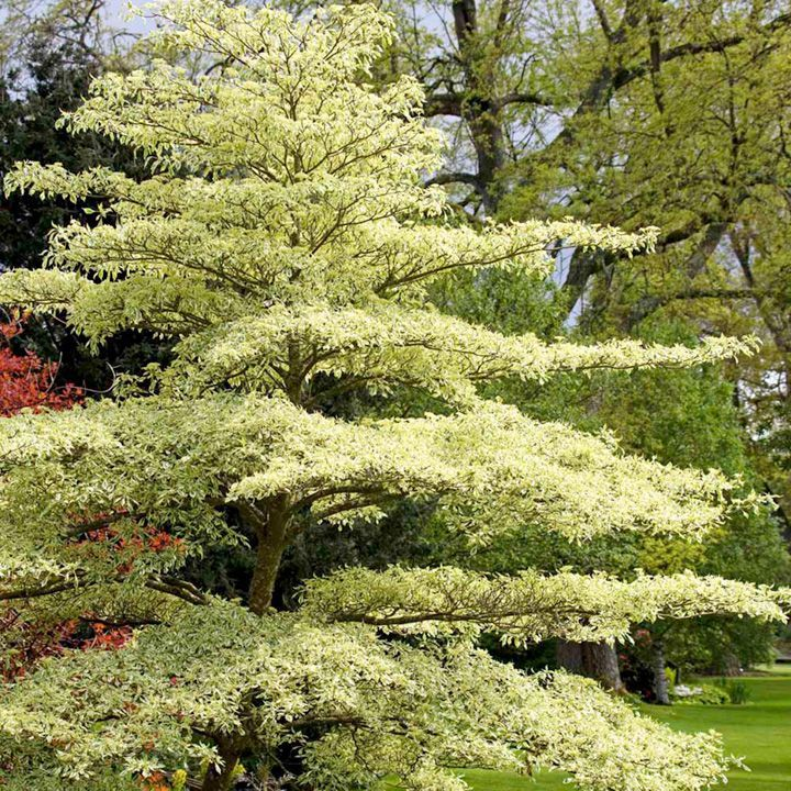 cornus wedding cake tree verticillium wilt resistant. Black Bedroom Furniture Sets. Home Design Ideas
