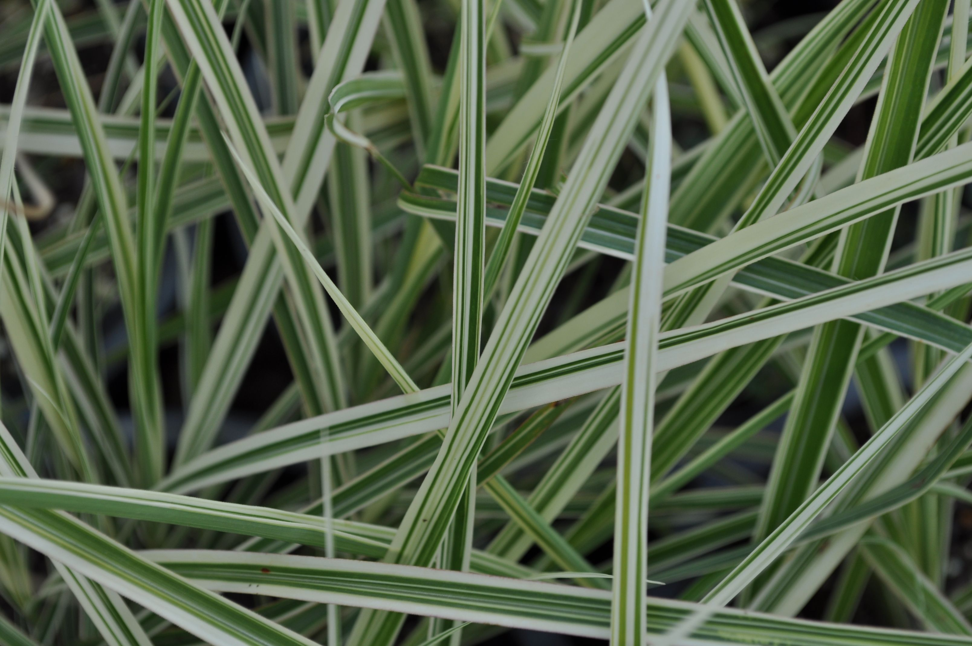 Miscanthus 39 variegatus 39 common name variegated maiden for Small ornamental grasses for sun