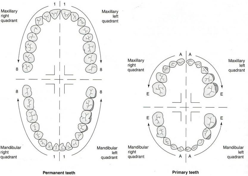 the palmer dental numbering system is known as the