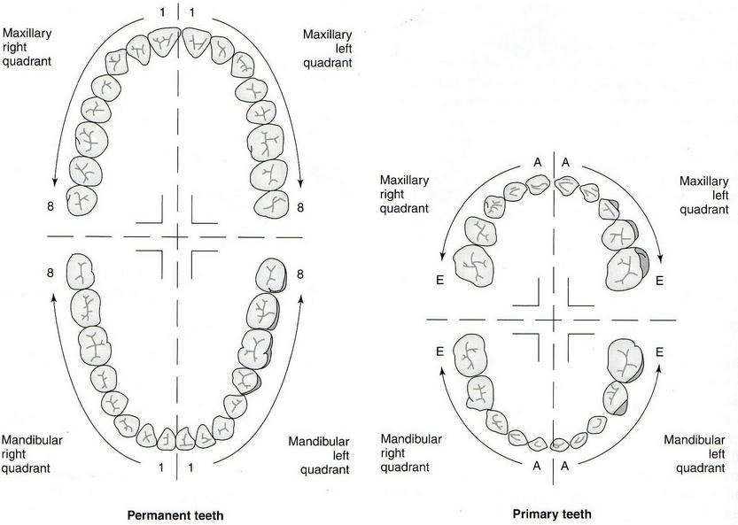 teeth numbering