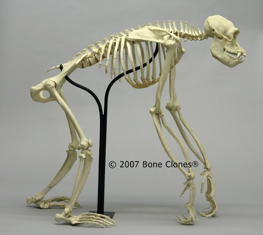 Articulated Chimpanzee Skeleton - Bone Clones, Inc. - Osteological Reproductions