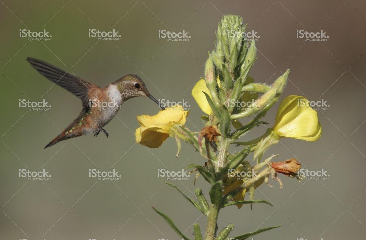 Rufous Hummingbird & Evening Primrose stock photo 3808011 - iStock - iStock PT_BR