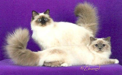 Lovinlaces Birmans The Rochester Mn Breeder Birman Kittens