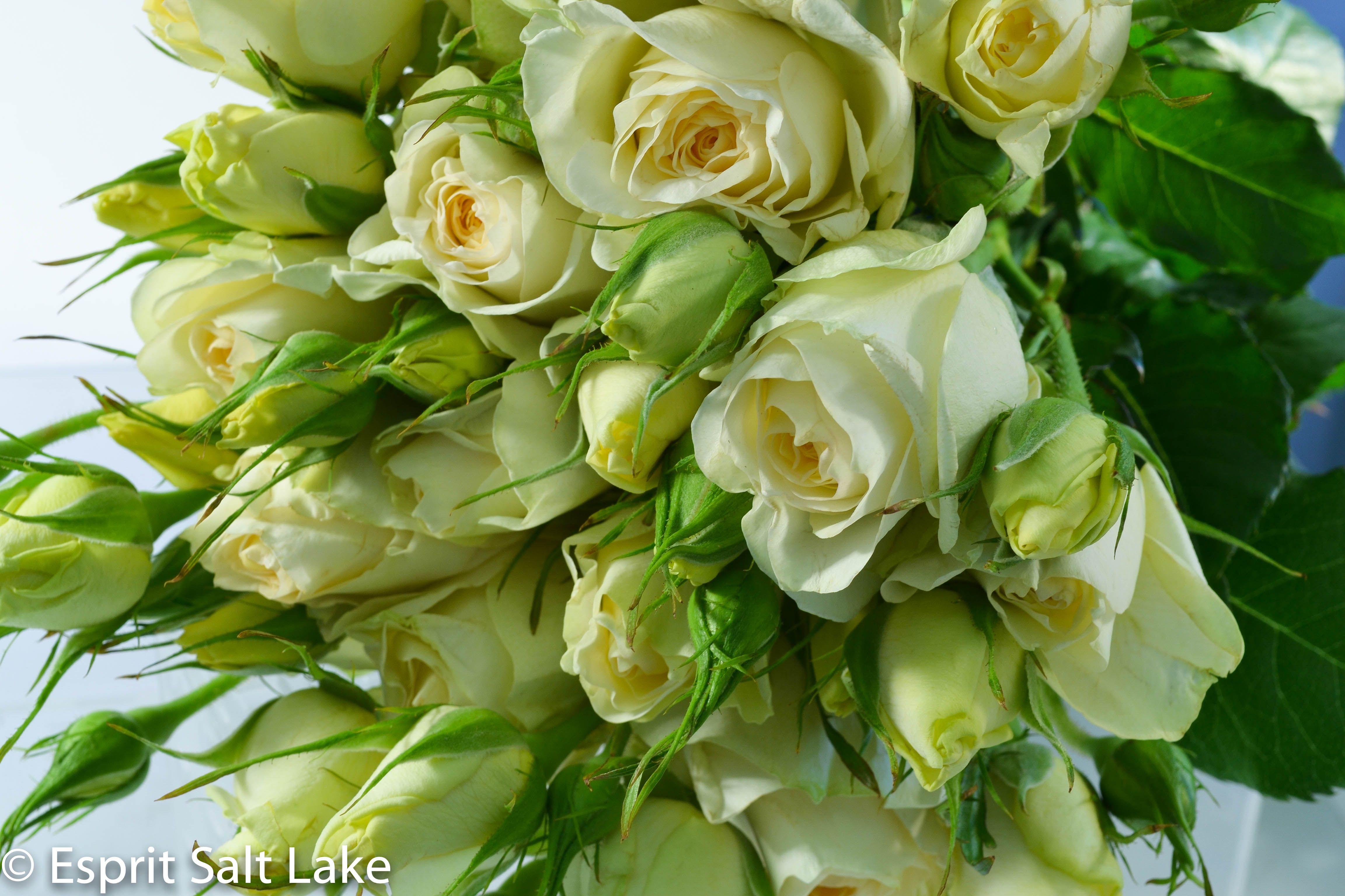 claire de lune cream garden spray rose these are the pale yellow ones - Cream Garden Rose