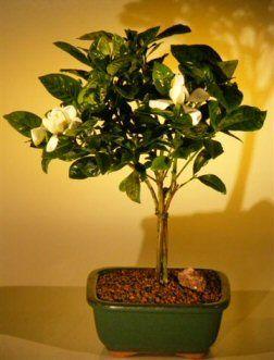 Flowering Gardenia Bonsai Tree Medium Jasminoides Miami Supreme