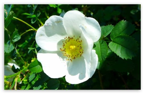 White Wild Rose HD desktop wallpaper : Widescreen : High Definition : Fullscreen : Mobile
