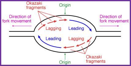 Image result for dna replication bubble diagram   Genetics ...