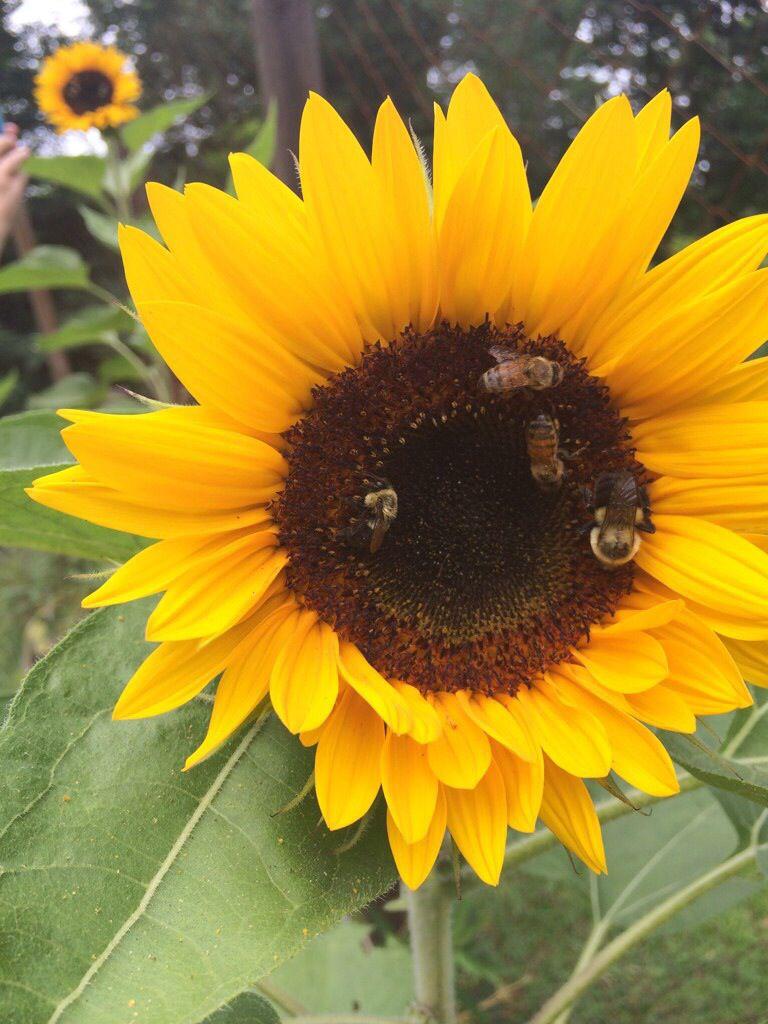 Honeybees Love Sunflowers Redbeehoney Redbee Com Garden Plants Bee Keeping