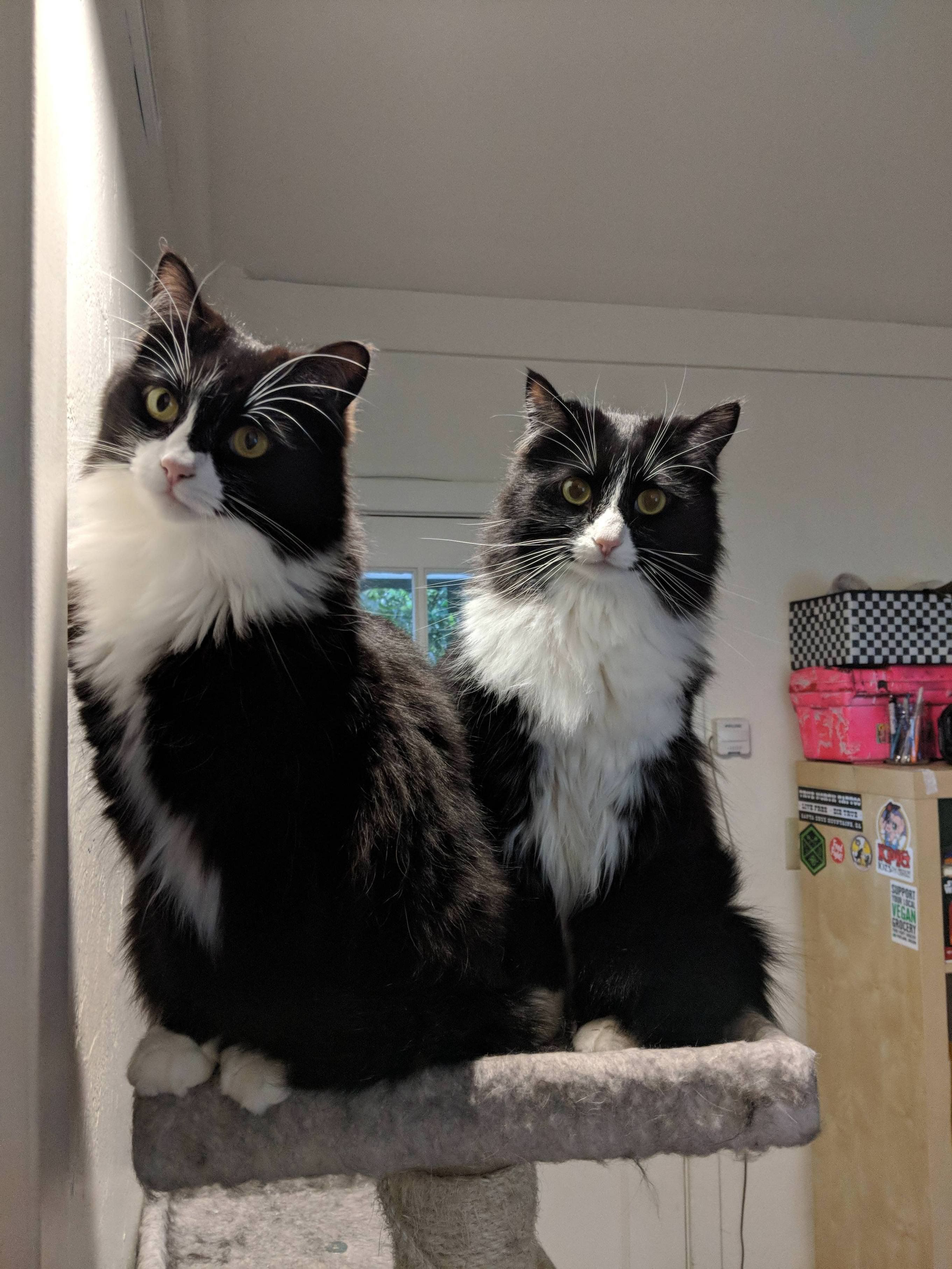 I call them The Twins, meet Artie and Luna! Pretty cats