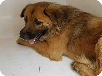 Atlanta Ga Chow Chow Mix Meet Clarise A Dog For Adoption