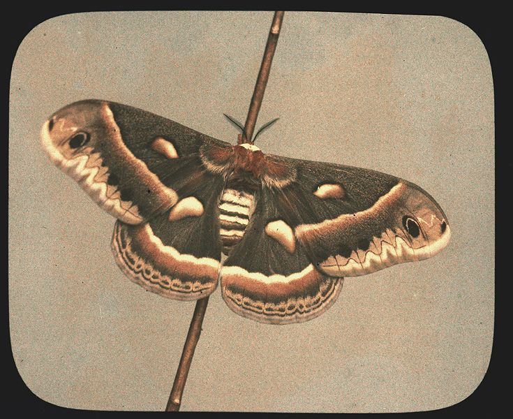 Cecropia Moth - Autochrome - American Museum of ...