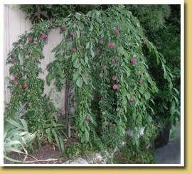 Dwarf Weeping Trees Santa Rosa Plum Ultra Patio Fruit