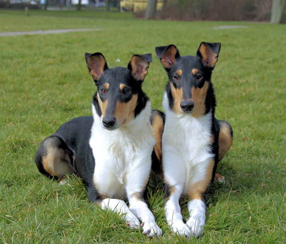 Mabinogion Smooth Collies Smooth Collie Beautiful Dog Breeds