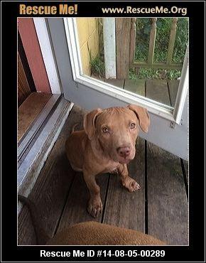 Florida Vizsla Rescue Adoptions Rescueme Org Jaxson Rescue Me Id 14 08 05 00289 Vizsla Rescue Vizsla Dogs Vizsla