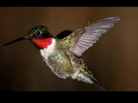 Florida Humming Bird