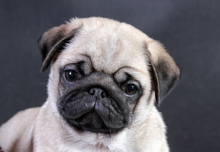 Pug Wallpaper Screensaver Background Cute Pug Puppy Cute Pug