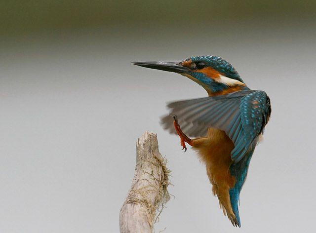 Kingfisher Landing by mvbalkom.