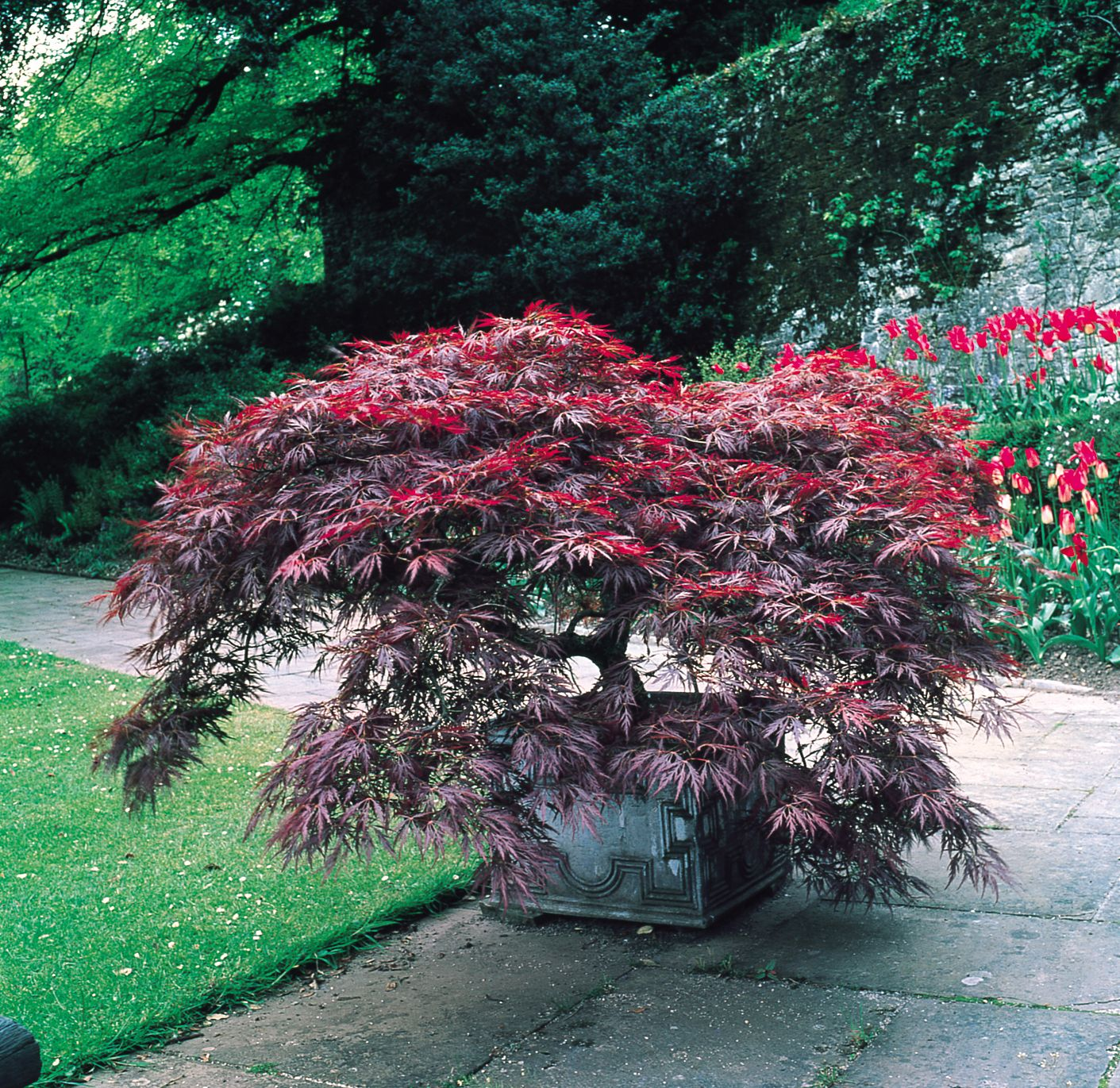 Acer palmatum Dissectum Japanese Maples are a must
