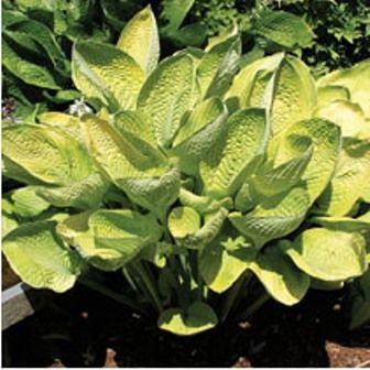 World Cup Hosta 4 5 Inch Container Hosta Plants Hostas Shade Perennials